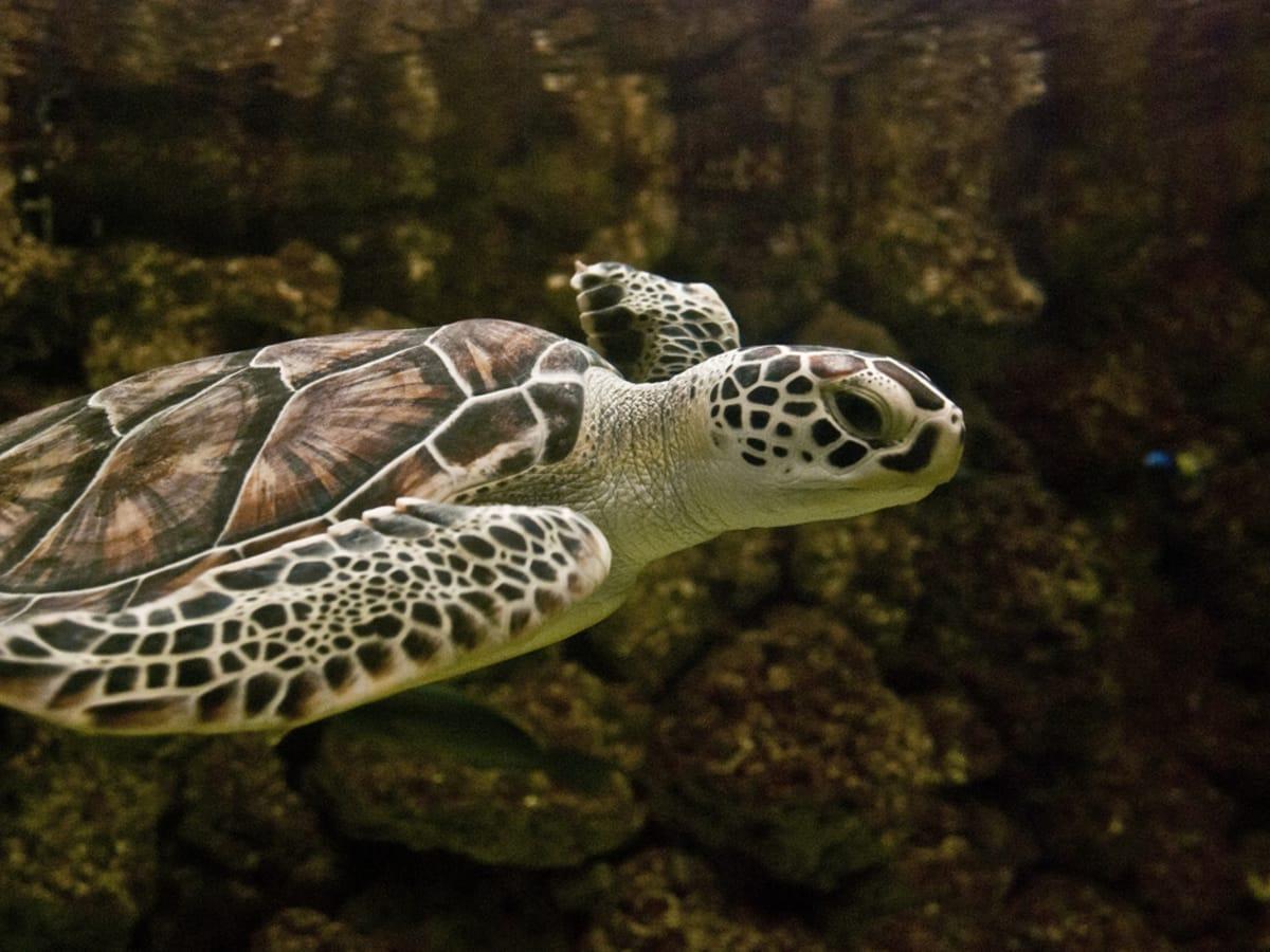 Common Green sea turtle