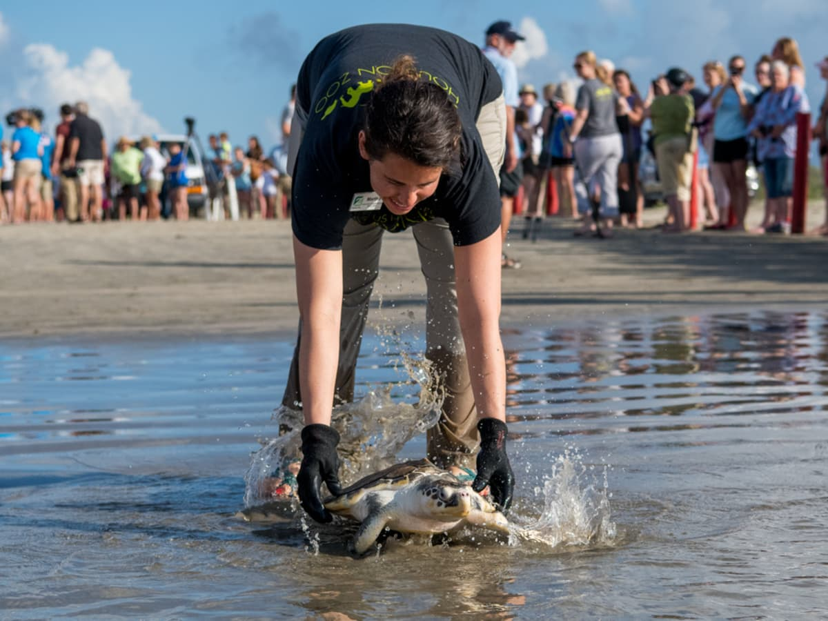 Sea turtle being released into the ocean