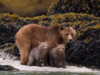 Bears from DisneyNature