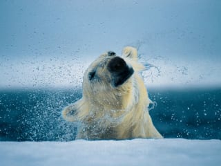 Polar bear by Paul Nicklen