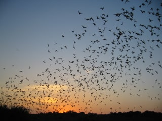 Bats on the Bayou