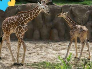 Giraffe, Dallas Zoo
