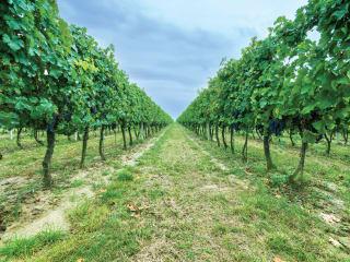 Truluck's Vineyard