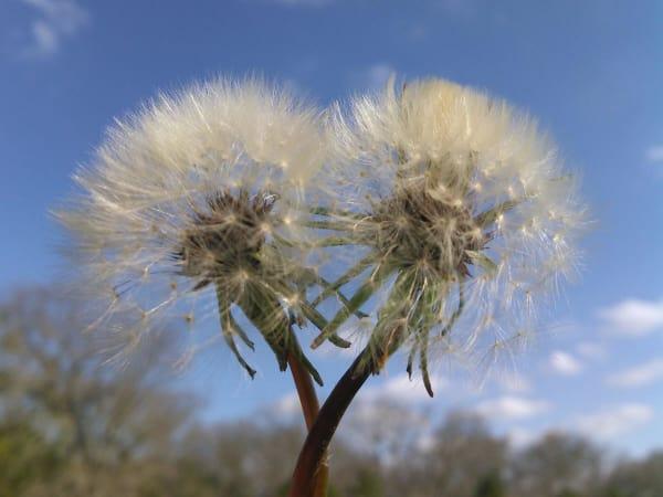 Mother Neff State Park Hearts in Nature Walk dandelion
