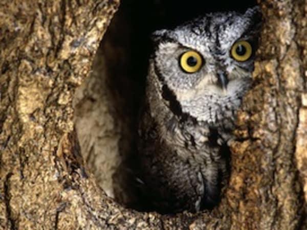 Build a Nest Box for the Eastern Screech Owl