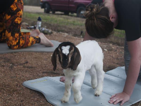 Sunset Goat Yoga & Happy Hour
