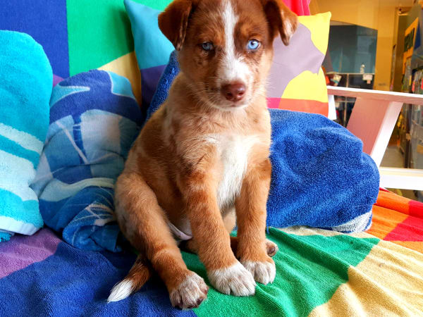 Pet of the Week - Truffle puppy Australian Shepherd