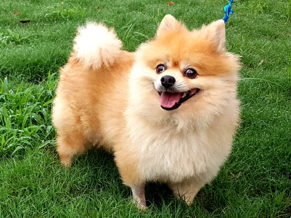 Pet of the Week - Coco Pomeranian