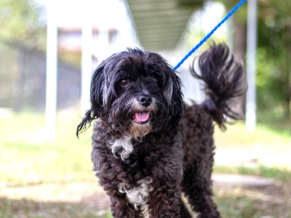 Pet of the Week - Kaprice cocker spaniel