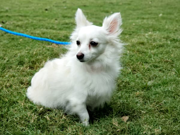 Pet of the Week - Nova Chihuahua
