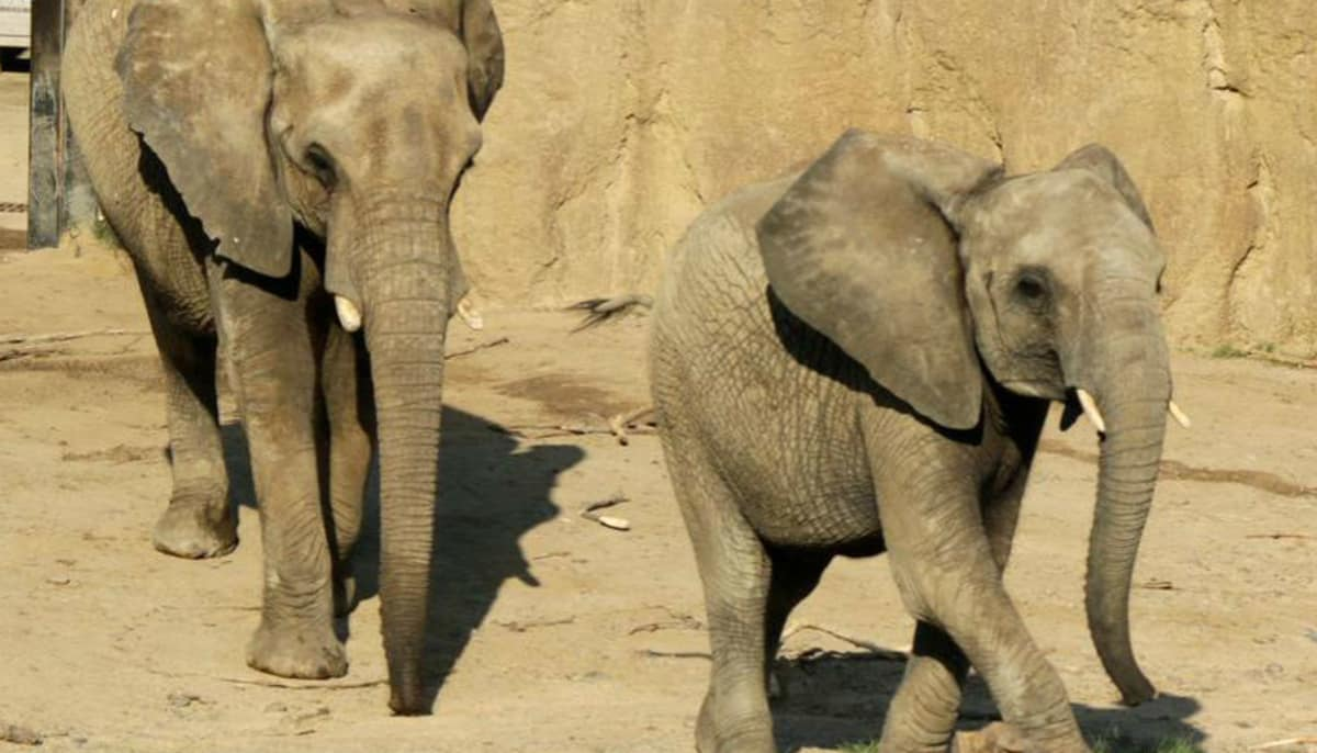 Dallas Zoo quietly ships out two elephants it 'rescued' from Swaziland