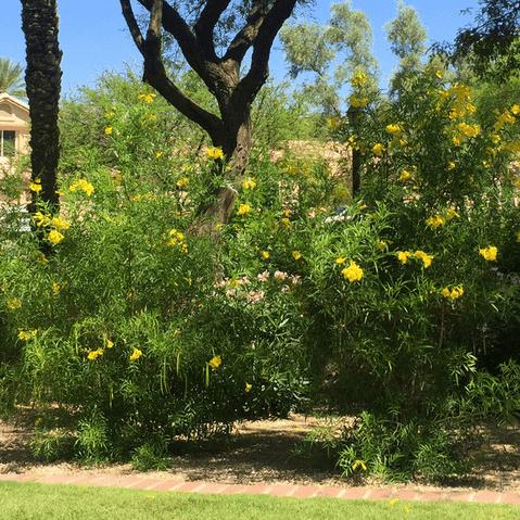 Houzz southwestern native shrubs plants gardening yellow bells
