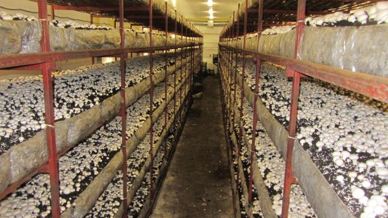 Скачать бизнес план по выращиванию шампиньонов