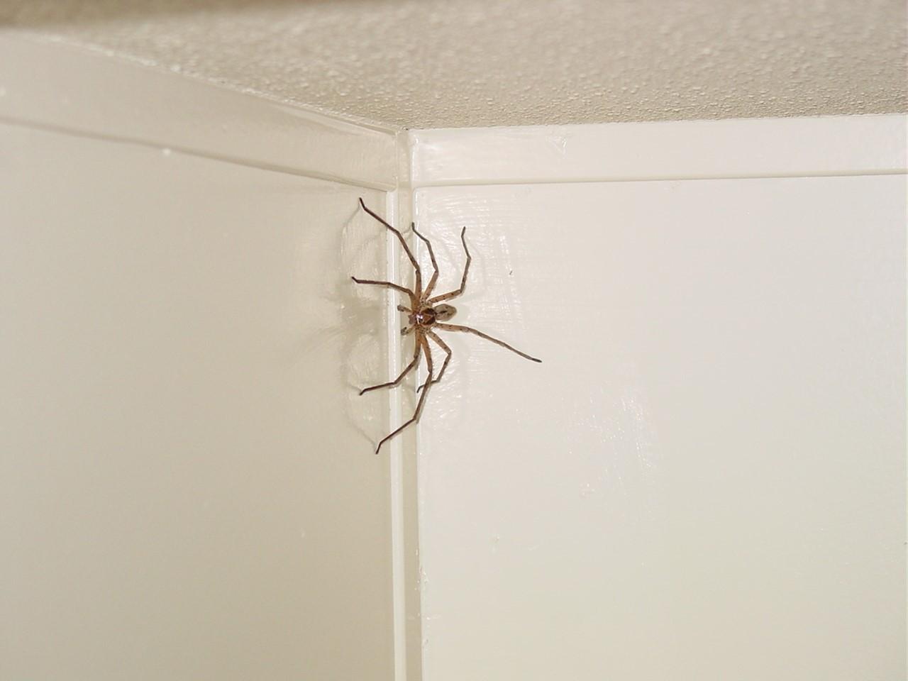 К чему в квартире много пауков