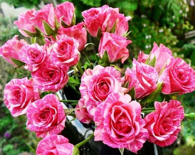 Фото розы пинк флеш