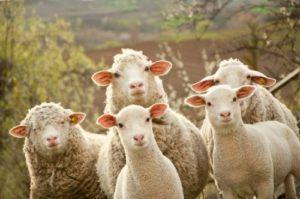 Выращивание овец бизнес план