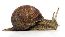 Gastropods snails
