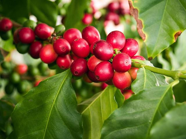 Bobice kafe u prirodi