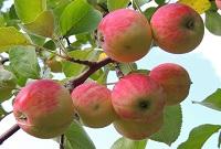 Яблоко сколько грамм