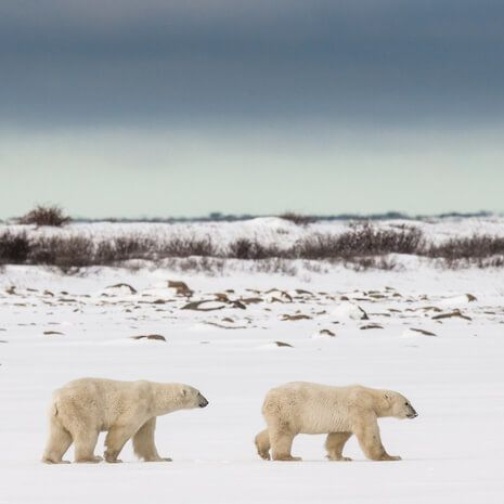 Polar bears in Churchill, Canada
