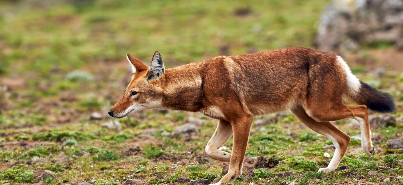 Ethiopian wolf, Simien Mountains National Park