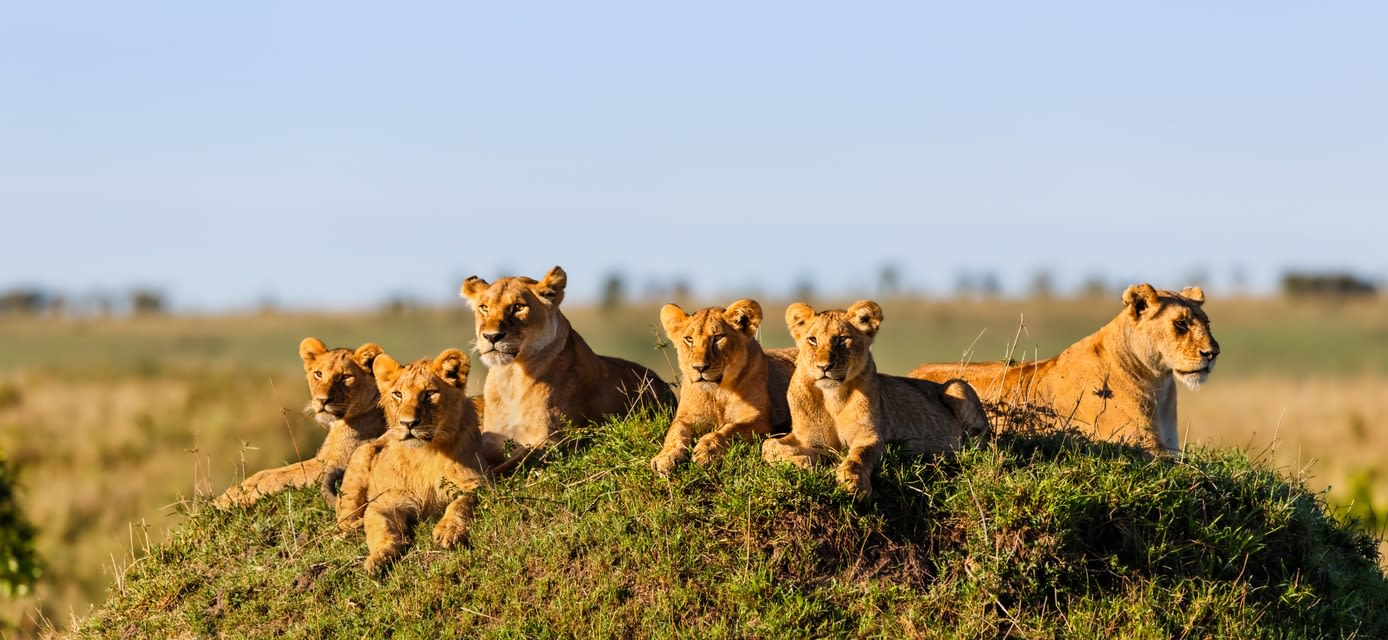 Lionesses and cubs, Africa