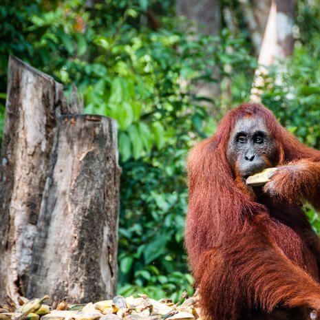 Orang Utan in Tanjung Puting National Park, Kalimantan