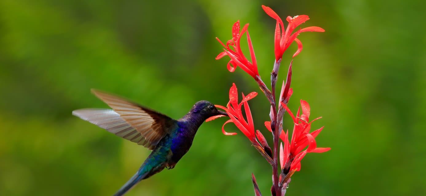 Hummingbird, Panama