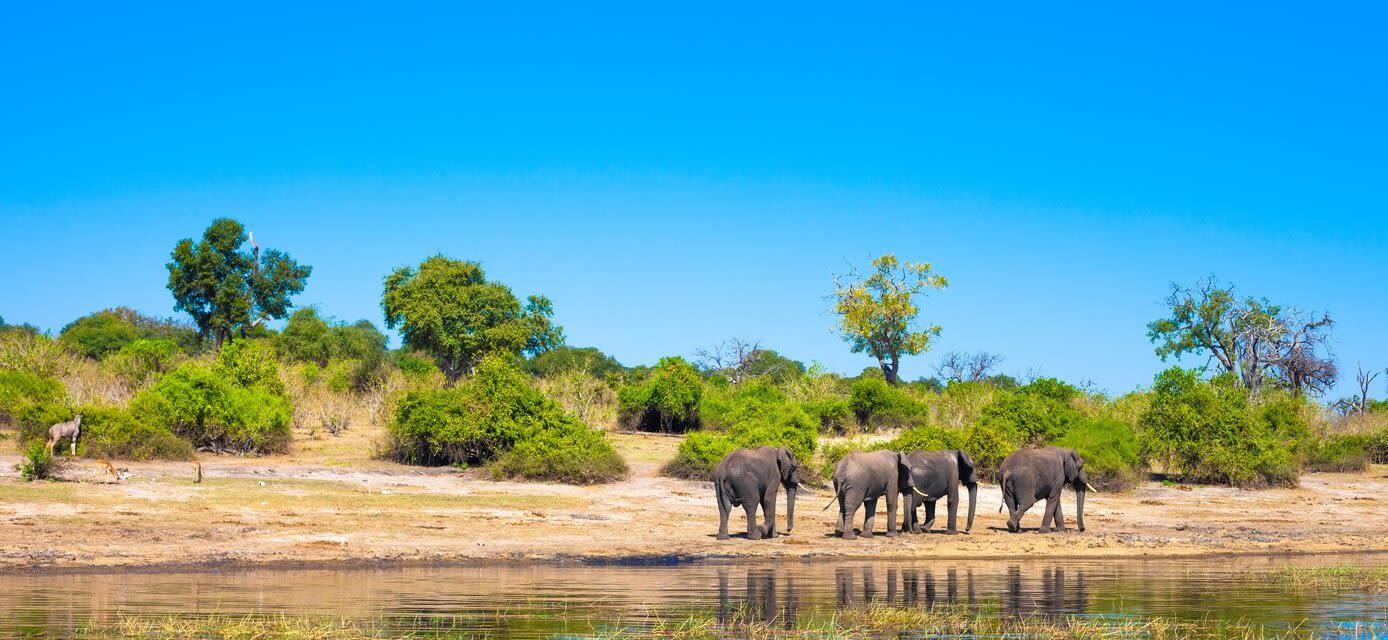 Elephants, Chobe River