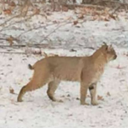 A recent photo of a bobcat sighting, provided by the New York State Department of Environmental Conservation.