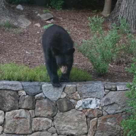 Several black bears, such as this one spotted in Bedford, were seen wandering around Armonk last weekend.