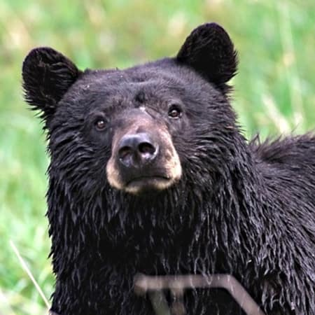 A Lewisboro man reported seeing a black bear. Pictured is an unrelated bear.