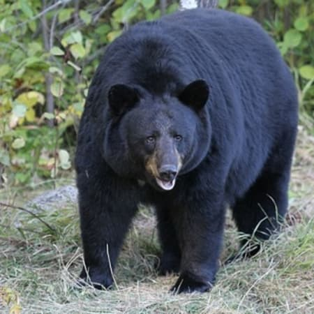 A black bear was spotted chowing down on a banana plant and some leftover bird seed in Bedford recently. It may, or may not, be the same wayward bruin seen roaming just over the border in Lewisboro. Pictured is an unrelated bear.