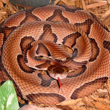 A smaller version of this copperhead snake depicted on Wikipedia was captured as it slithered around the pool area at the Weston Middle School Friday.