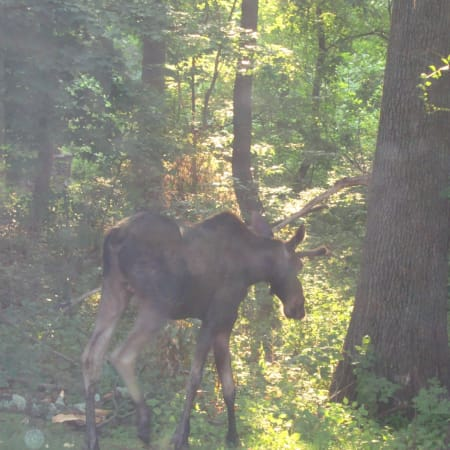 This moose was spotted in Ossining Friday morning by resident Joanna Peck, who submitted this photo.