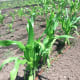 """Corn grows at Fairgate Farm. Located at 129-143 Stillwater Ave., it is having a free public event called """"It Isn't Easy Being Green,"""" Saturday from noon until 2 p.m."""