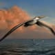 Reconstruction of the world's largest-ever flying bird: Pelagornis sandersi.