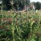 Corn grows at Fairgate Farm on Stillwater Avenue.