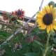 Flowers grow at Fairgate Farm on Stillwater Avenue.