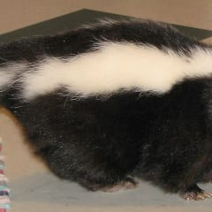 A rabid skunk was found in Pleasantville.