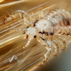Head lice that is resistant to common medications has been discovered in 28 states, including New York.