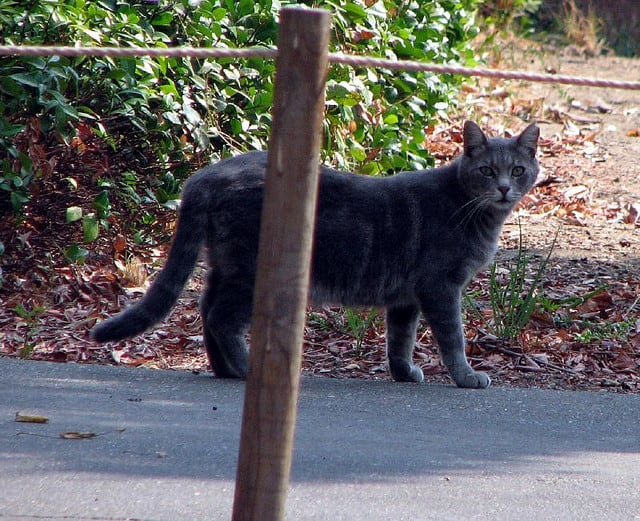 A gray stray cat, similar to this one, was found in Ossining last week with rabies, Westchester County Department of Health officials said.
