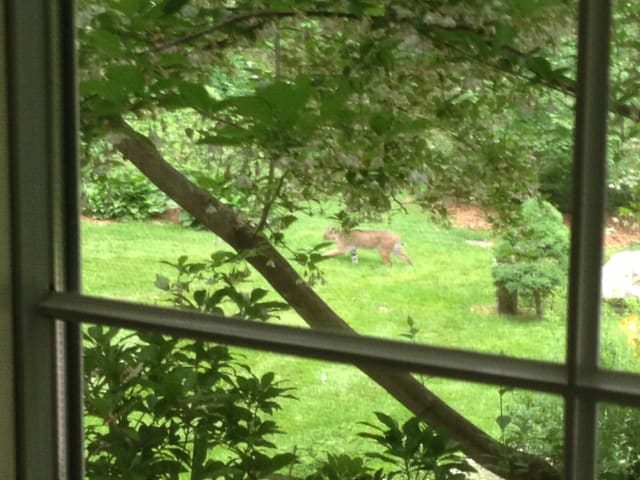 A New Canaan resident on North Wilton Road was able to snap this shot of a bobcat.
