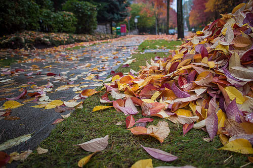 Danbury begins its leaf pick-up program on Oct. 21.