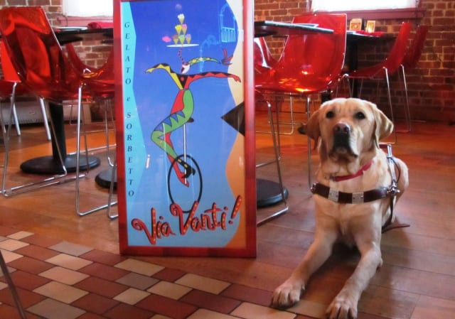 Guiding Eyes for the Blind Yellow Lab guide dog in training Aris poses at Via Vanti! Restaurant & Gelateria in Mount Kisco, where a fund-raiser will be held on Jan 26.