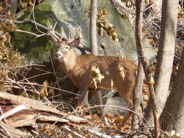 A judge has denied a request to block shooters from culling the deer population at Teatown Lake Reserve