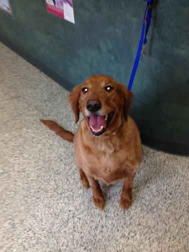 Police are looking for information to find the owner of a golden retriever that was found in Pound Ridge.