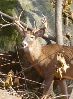 The Village of Hastings will participate in a study to see if immunocontraception is a viable form of population control for deer.