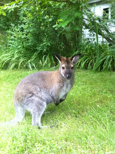 Sightings of Indy, a missing wallaby, have been reported around North Salem High School.