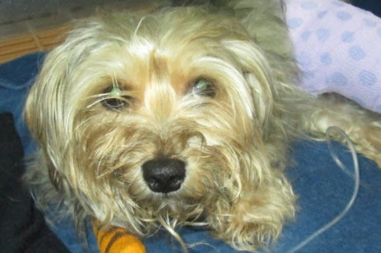 Bruno, a Yorkshire terrier mix, is being treated in Stamford for severe injuries after he was hit by car in Redding.